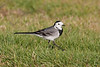 White Wagtails are abundant in this part of Arabia. (Photo by guide George Armistead)