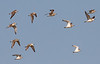 """A mixed flock of Greater and Lesser Sandplovers. Of the 11 birds pictured, there are 5 of one species and 6 of the other. Can you pick out which are which? <div id=""""caption_tourlink"""" align=""""right""""> [photo © guide George Armistead]</div>"""