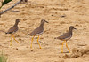 """Upwards of a dozen White-tailed Plovers greeted us at the Dubai Pivot Fields. <div id=""""caption_tourlink"""" align=""""right""""> [photo © guide George Armistead]</div>"""