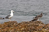 "A Caspian Gull rests with a pair of Sooty Gulls. <div id=""caption_tourlink"" align=""right""> [photo © guide George Armistead]</div>"