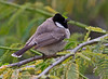 """White-cheeked Bulbul (pictured here) and Red-vented Bulbuls are introduced to the region. The more scarce Yellow-vented Bulbul is the only apparently native bulbul species. <div id=""""caption_tourlink"""" align=""""right""""> [photo © guide George Armistead]</div>"""