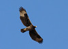 """An immature Verreaux's Eagle soars over Ayn Hamran, with a parent nearby. <div id=""""caption_tourlink"""" align=""""right""""> [photo © guide George Armistead]</div>"""