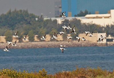 Oman & the UAE: Birding Arabia