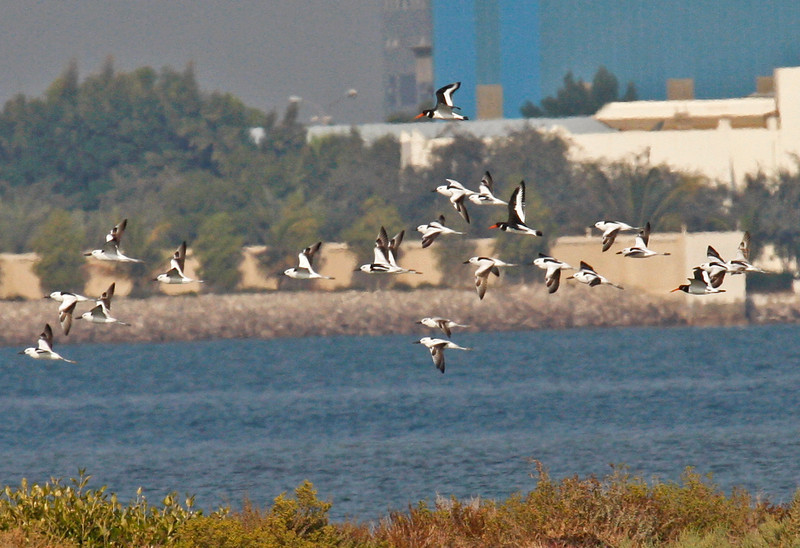 """A flock of nearly 70 Crab Plovers in the UAE was a great highlight of the trip. Here a subset of that flock flies about with a few Eurasian Oystercatchers after being spooked by a Western Marsh Harrier. <div id=""""caption_tourlink"""" align=""""right""""> [photo © guide George Armistead]</div>"""