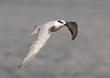 "Another Whiskered Tern <div id=""caption_tourlink"" align=""right""> [photo © guide George Armistead]</div>"