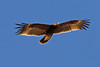"A (Greater) Spotted Eagle soars. <div id=""caption_tourlink"" align=""right""> [photo © guide George Armistead]</div>"