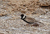 """A gorgeous bird (that this photo does little justice for) is the Black-crowned Finch-Lark. <div id=""""caption_tourlink"""" align=""""right""""> [photo © guide George Armistead]</div>"""