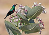 """The largest of the three sunbird species we see on this trip, the Shining Sunbird is also the most showy. Here a lovely male sits atop a Sodom's Apple (aka Giant Milkweed). <div id=""""caption_tourlink"""" align=""""right""""> [photo © guide George Armistead]</div>"""