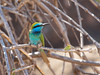 """Lovely Little Green Bee-eater at our picnic spot in Khawr Rawri. <div id=""""caption_tourlink"""" align=""""right""""> [photo © guide George Armistead]</div>"""