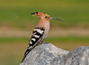 """We saw Hoopoes on nearly half the days of the trip. They were always a welcome additions to the day's list. This one eyed us from atop some rocks at the Dubai Pivot Fields. <div id=""""caption_tourlink"""" align=""""right""""> [photo © guide George Armistead]</div>"""