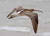 """A Eurasian Curlew wings along the beach revealing its extensively white back and rump, and its long decurved bill. <div id=""""caption_tourlink"""" align=""""right""""> [Photo © guide George Armistead]</div>"""