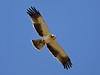 """In the lovely Dhofar region of Oman, this Booted Eagle grasps a recently procured Spectacled Bulbul. <div id=""""caption_tourlink"""" align=""""right""""> [Photo © guide George Armistead]</div>"""
