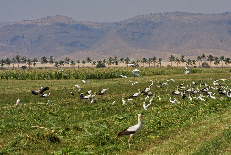 """Outside of Salalah, Oman in the Dhofar region, we found fields full of storks, egrets, and wagtails, while the taller grass held Singing Bushlarks, and the Coconut palms harbored Rueppell's Weavers. <div id=""""caption_tourlink"""" align=""""right""""> [Photo © guide George Armistead]</div>"""