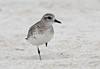 """A Black-bellied Plover rests on one leg. <div id=""""caption_tourlink"""" align=""""right""""> [Photo © guide George Armistead]</div>"""