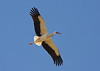 """A White Stork sails overhead in Dhofar. We saw big flocks on a couple of occasions this year with up to 600 birds at once. <div id=""""caption_tourlink"""" align=""""right""""> [Photo © guide George Armistead]</div>"""