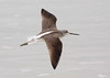 "A Common Greenshank reveals its distinctive dark-winged, white-backed look in flight. <div id=""caption_tourlink"" align=""right""> [Photo © guide George Armistead]</div>"