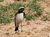 "Desert Wheatear is the most widely encountered wheatear species in Oman/UAE, and males like this one are handsome indeed. <div id=""caption_tourlink"" align=""right""> [Photo © guide George Armistead]</div>"