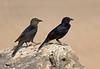 "A pair of Tristram's Starlings soak up some sun near Salalah. <div id=""caption_tourlink"" align=""right""> [Photo © guide George Armistead]</div>"