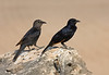 "A pair of Tristram's Starlings soak up some sun near Salalah. <div id=""caption_tourlink"" align=""right""> [Photo © guide George Armistead]</div>"