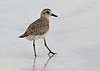"""A Black-bellied Plover (or Grey Plover as the Brits call them) considers his photographer. <div id=""""caption_tourlink"""" align=""""right""""> [Photo © guide George Armistead]</div>"""