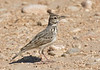 """Crested Larks are well named and easily found throughout our route in Arabia. <div id=""""caption_tourlink"""" align=""""right""""> [Photo © guide George Armistead]</div>"""