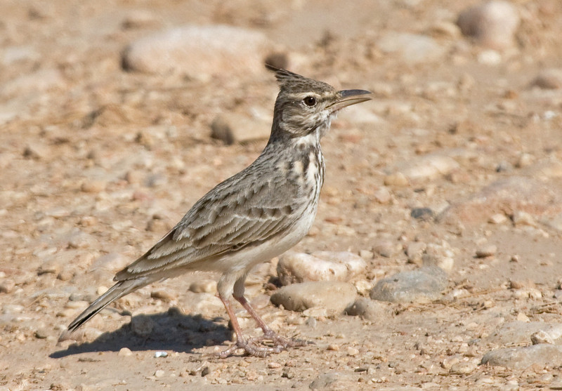 "Crested Larks are well named and easily found throughout our route in Arabia. <div id=""caption_tourlink"" align=""right""> [Photo © guide George Armistead]</div>"