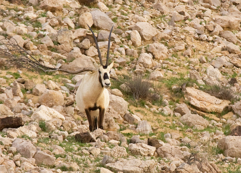 """Though essentially extinct in the wild since the late 1960s, the Arabian Oryx can be seen with some luck at a few reintroduction sites. We found this elegant animal at one such site just outside of Dubai. Some have suggested that this is the animal from which the legend of the unicorn arose, and if you see one in perfect profile it's understandable how that legend might have evolved. <div id=""""caption_tourlink"""" align=""""right""""> [Photo © guide George Armistead]</div>"""