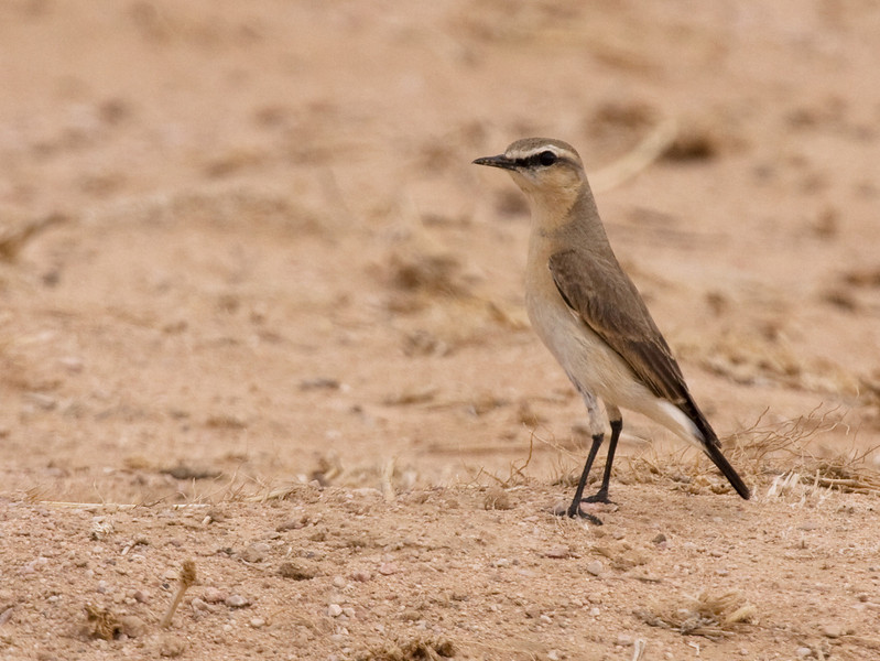 "The Isabelline Wheatear is a large, sturdy wheatear with neatly marked black lores and a rather bold white eye-line. <div id=""caption_tourlink"" align=""right""> [Photo © guide George Armistead]</div>"