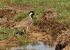 """The Red-wattled Lapwing is an attractive and common species, and they can be quite noisy also, to the point of being a nuisance at times. <div id=""""caption_tourlink"""" align=""""right""""> [Photo © guide George Armistead]</div>"""
