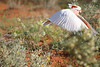 """Pink (Major Mitchell's) Cockatoo <div id=""""caption_tourlink"""" align=""""right""""> [photo © guide Phil Gregory]</div>"""