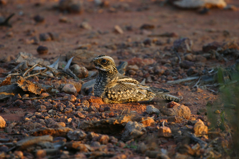 "Spotted Nightjar <div id=""caption_tourlink"" align=""right""> [photo © guide Phil Gregory]</div>"