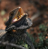 "Bearded Dragon <div id=""caption_tourlink"" align=""right""> [photo © participant Jacqui Probst]</div>"