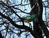 """Mulga Parrot <div id=""""caption_tourlink"""" align=""""right""""> [photo © participant Jacqui Probst]</div>"""