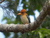 "Yellow-billed Kingfisher  <div id=""caption_tourlink"" align=""right""> [photo © participant Francesco Veronesi]</div>"