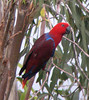 "Eclectus Parrot <div id=""caption_tourlink"" align=""right""> [photo © guide Richard Webster]</div>"