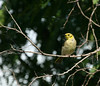 """Yellow-tinted Honeyeater. <div id=""""caption_tourlink"""" align=""""right""""> [photo © guide Dave Stejskal]</div>"""