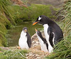 "Gentoo Penguins<div id=""caption_tourlink"" align=""right"">Link to: <a id=""caption_tourlink"" href=""http://www.fieldguides.com/nzsubantarctic.htm"" target=""_blank"">PENGUINS, PETRELS & ALBATROSSES: CRUISING NZ'S SUBANTARCTIC ISLANDS</a><br>[photo © participant Dave Semler]</div>"