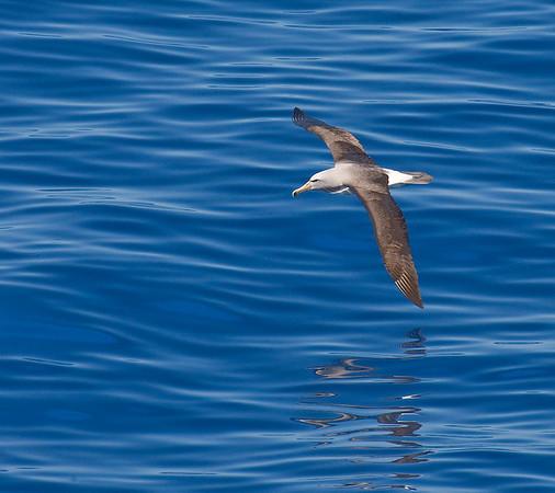 "Shy (Salvin's) Albatross<div id=""caption_tourlink"" align=""right"">Link to: <a id=""caption_tourlink"" href=""http://www.fieldguides.com/nzsubantarctic.htm"" target=""_blank"">PENGUINS, PETRELS & ALBATROSSES: CRUISING NZ'S SUBANTARCTIC ISLANDS</a><br>[photo © participant Dave Semler]</div>"