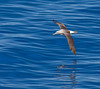 "Shy (Salvin's) Albatross<div id=""caption_tourlink"" align=""right"">Link to: <a id=""caption_tourlink"" href=""http://www.fieldguides.com/nzsubantarctic.htm"" target=""_blank"">PENGUINS, PETRELS & ALBATROSSES: CRUISING NZ'S SUBANTARCTIC ISLANDS</a><br>[photo © participant Dave Semler]</div>"
