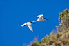 "White-fronted Terns<div id=""caption_tourlink"" align=""right"">Link to: <a id=""caption_tourlink"" href=""http://www.fieldguides.com/nzsubantarctic.htm"" target=""_blank"">PENGUINS, PETRELS & ALBATROSSES: CRUISING NZ'S SUBANTARCTIC ISLANDS</a><br>[photo © participant Dave Semler]</div>"