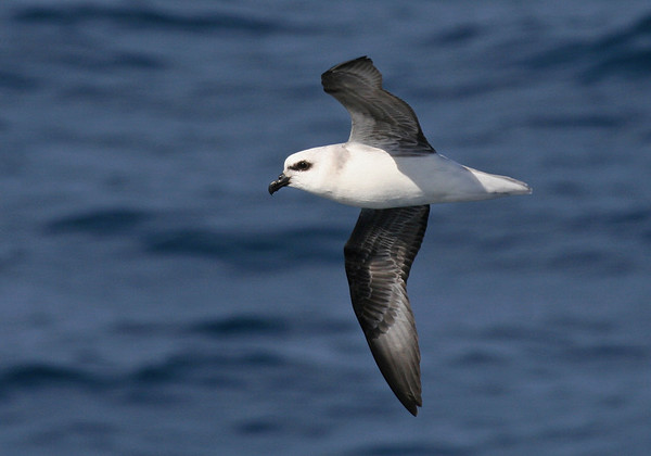 "White-headed Petrel<div id=""caption_tourlink"" align=""right"">Link to: <a id=""caption_tourlink"" href=""http://www.fieldguides.com/nzsubantarctic.htm"" target=""_blank"">PENGUINS, PETRELS & ALBATROSSES: CRUISING NZ'S SUBANTARCTIC ISLANDS</a><br>[photo © George Armistead]</div>"