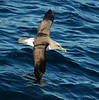 "Buller's Albatross<div id=""caption_tourlink"" align=""right"">Link to: <a id=""caption_tourlink"" href=""http://www.fieldguides.com/nzsubantarctic.htm"" target=""_blank"">PENGUINS, PETRELS & ALBATROSSES: CRUISING NZ'S SUBANTARCTIC ISLANDS</a><br>[photo © participant Angus Hogg]</div>"