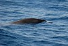"Gray's Beaked Whale<div id=""caption_tourlink"" align=""right"">Link to: <a id=""caption_tourlink"" href=""http://www.fieldguides.com/nzsubantarctic.htm"" target=""_blank"">PENGUINS, PETRELS & ALBATROSSES: CRUISING NZ'S SUBANTARCTIC ISLANDS</a><br>[photo © participant Angus Hogg]</div>"
