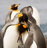"King Penguins<div id=""caption_tourlink"" align=""right"">Link to: <a id=""caption_tourlink"" href=""http://www.fieldguides.com/nzsubantarctic.htm"" target=""_blank"">PENGUINS, PETRELS & ALBATROSSES: CRUISING NZ'S SUBANTARCTIC ISLANDS</a><br>[photo © participant Dave Semler]</div>"