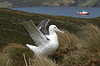 "Southern Royal Albatross on Campbell Island<div id=""caption_tourlink"" align=""right"">Link to: <a id=""caption_tourlink"" href=""http://www.fieldguides.com/nzsubantarctic.htm"" target=""_blank"">PENGUINS, PETRELS & ALBATROSSES: CRUISING NZ'S SUBANTARCTIC ISLANDS</a><br>[photo © George Armistead]</div>"