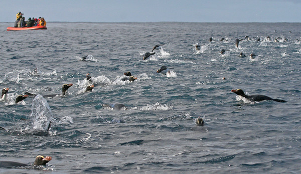"Erect-crested Penguins<div id=""caption_tourlink"" align=""right"">Link to: <a id=""caption_tourlink"" href=""http://www.fieldguides.com/nzsubantarctic.htm"" target=""_blank"">PENGUINS, PETRELS & ALBATROSSES: CRUISING NZ'S SUBANTARCTIC ISLANDS</a><br>[photo © George Armistead]</div>"