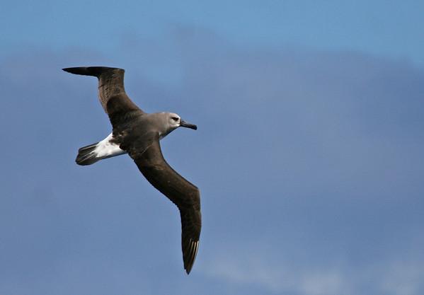 "Gray-headed Albatross<div id=""caption_tourlink"" align=""right"">Link to: <a id=""caption_tourlink"" href=""http://www.fieldguides.com/nzsubantarctic.htm"" target=""_blank"">PENGUINS, PETRELS & ALBATROSSES: CRUISING NZ'S SUBANTARCTIC ISLANDS</a><br>[photo © George Armistead]</div>"