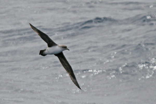 "Gray Petrel<div id=""caption_tourlink"" align=""right"">Link to: <a id=""caption_tourlink"" href=""http://www.fieldguides.com/nzsubantarctic.htm"" target=""_blank"">PENGUINS, PETRELS & ALBATROSSES: CRUISING NZ'S SUBANTARCTIC ISLANDS</a><br>[photo © George Armistead]</div>"