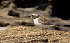 "Shore Plover<div id=""caption_tourlink"" align=""right"">Link to: <a id=""caption_tourlink"" href=""http://www.fieldguides.com/nzsubantarctic.htm"" target=""_blank"">PENGUINS, PETRELS & ALBATROSSES: CRUISING NZ'S SUBANTARCTIC ISLANDS</a><br>[photo © participant Dave Semler]</div>"