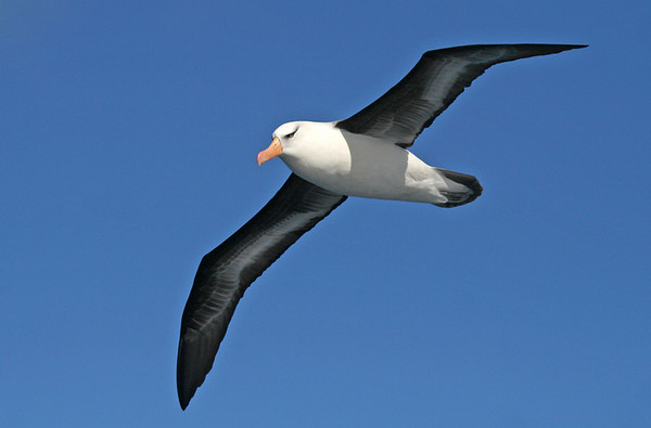 "Campbell (New Zealand Black-browed) Albatross<div id=""caption_tourlink"" align=""right"">Link to: <a id=""caption_tourlink"" href=""http://www.fieldguides.com/nzsubantarctic.htm"" target=""_blank"">PENGUINS, PETRELS & ALBATROSSES: CRUISING NZ'S SUBANTARCTIC ISLANDS</a><br>[photo © George Armistead]</div>"